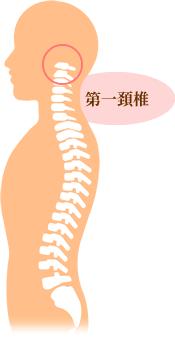第一頸椎イラスト