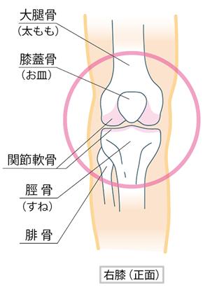 膝の内部イラスト